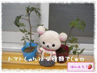 ちこちゃんのトマト観察日記★1★今年も始めます-5