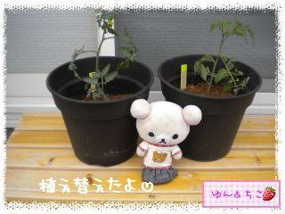 ちこちゃんのトマト観察日記★1★今年も始めます-7