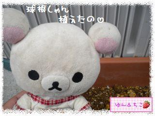 ちこちゃんのプランターガーデニング日記★1★-2