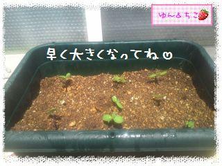 ちこちゃんのプランターガーデニング日記★2★-5