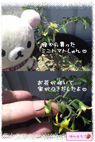 トマト観察日記★2★後から買ったのに…-3