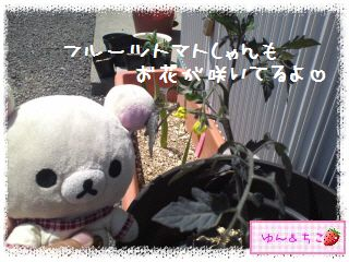 トマト観察日記★2★後から買ったのに…-5