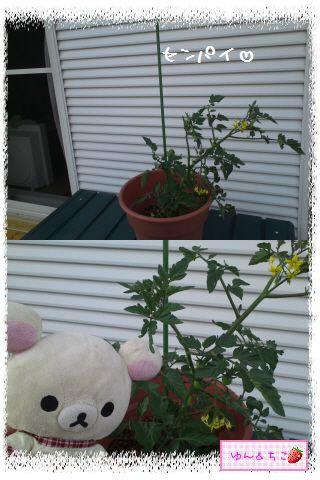 トマト観察日記★3★支柱をたてましゅよ-2