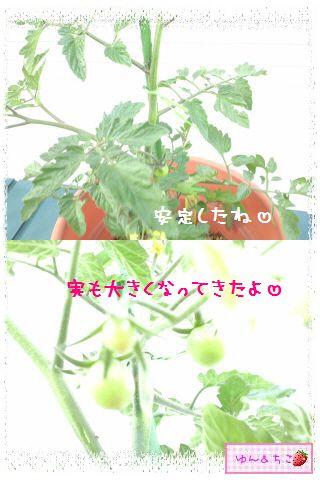 トマト観察日記★3★支柱をたてましゅよ-3