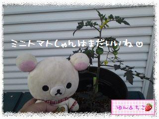 トマト観察日記★3★支柱をたてましゅよ-4