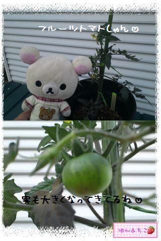 トマト観察日記★3★支柱をたてましゅよ-5