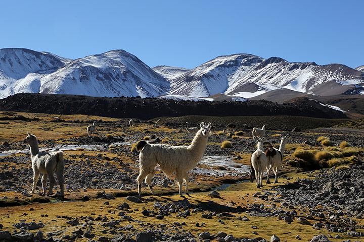 Lamas-at-around-4000m-And-008.jpg