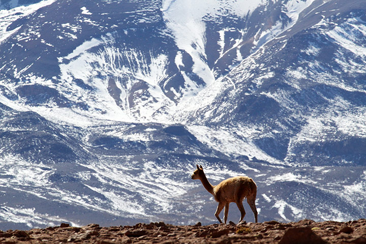 Vicuna-Andes-007.jpg
