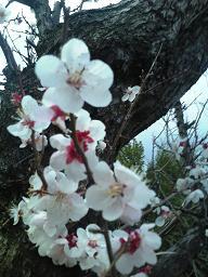 H25年梅の花