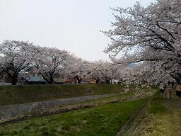 岡谷市ロマネット脇の桜堤