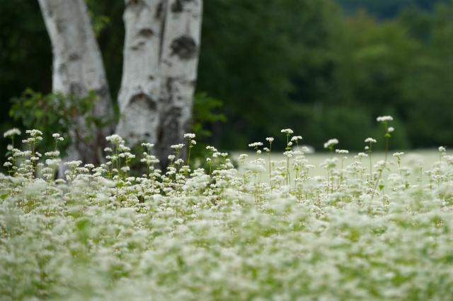 会津高杖蕎麦の花
