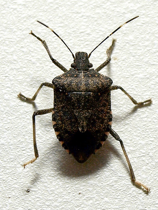 Brown_marmorated_stink_bug.jpg