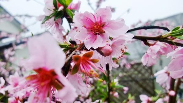 池西農園さんの桜