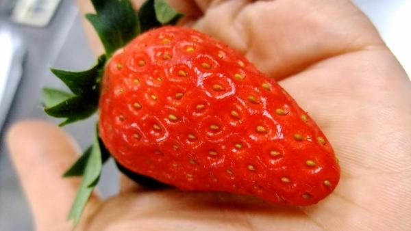 初採りイチゴ