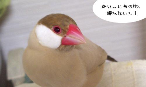 ミカンの鳥と文鳥ズ_5