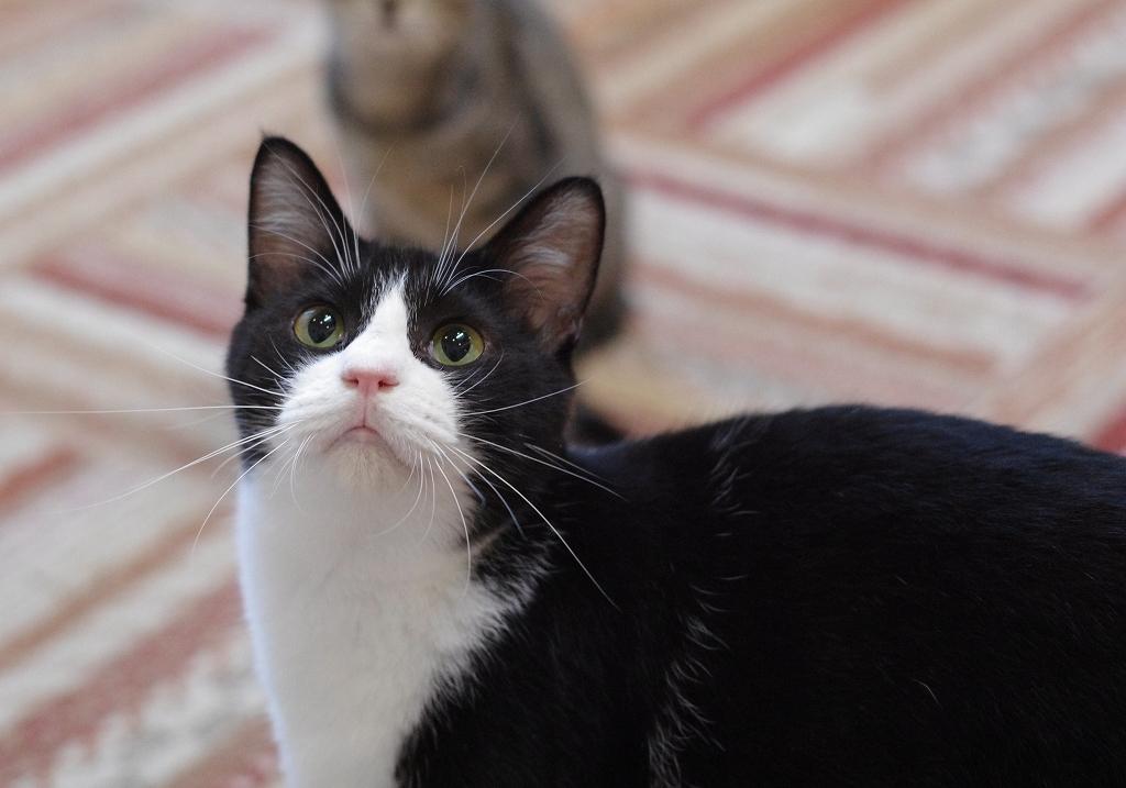 黒白猫写真