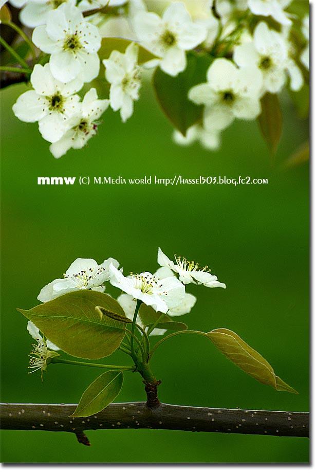 nashi_06.jpg