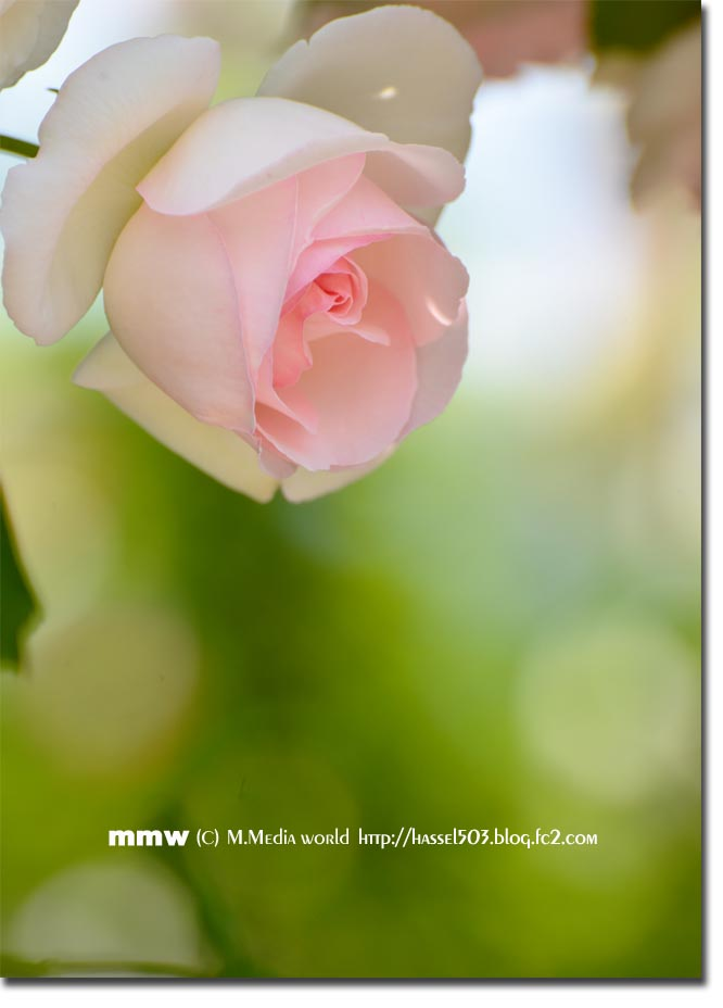 rose_12.jpg