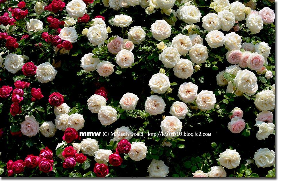rose_15.jpg