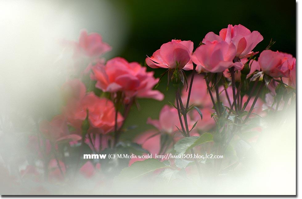 rose_5.jpg