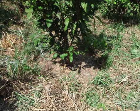 木の根元は手で草引きします。