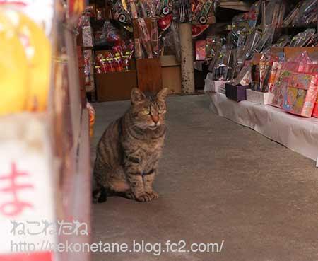お土産屋さんいたキジ猫さん写真