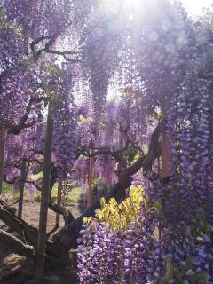 藤の花 あしかがフラワーパーク
