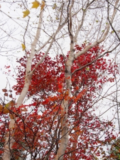 明神岳の紅葉