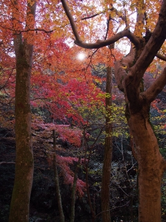 花貫渓谷の紅葉 紅葉並木