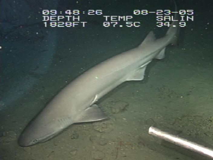 【深海魚】 新潟県佐渡で深海巨大ザメ 「カグラザメ」見つかる
