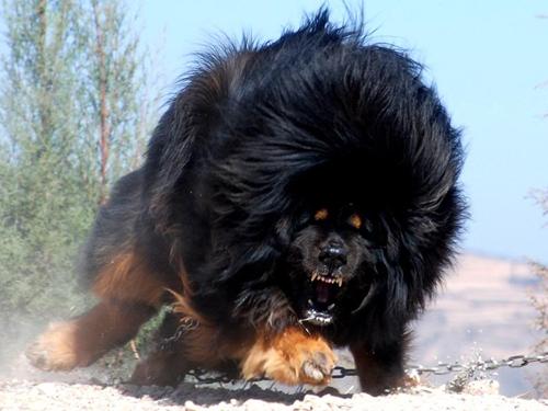 Biggest-Tibetan-Mastiff-5.jpg