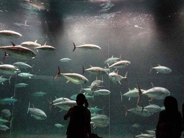 葛西臨海水族園のマグロ