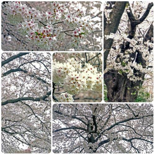 田無の桜五
