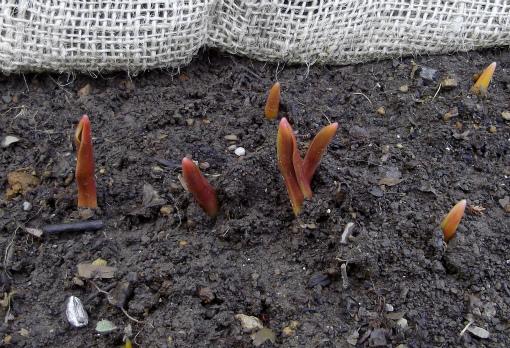 チューリップの 「芽」