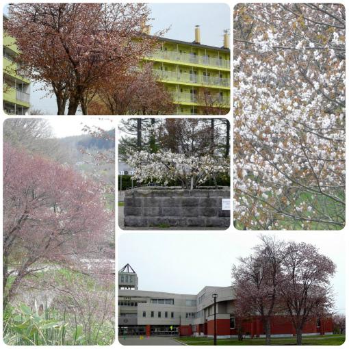 ツルちゃんの桜見物