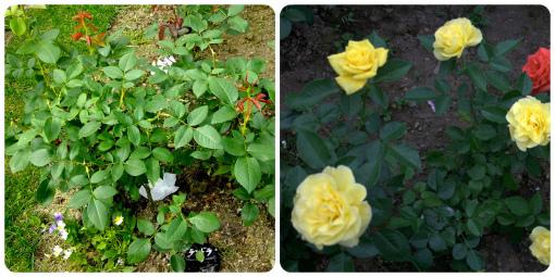 一番花終了 & 二番花全開