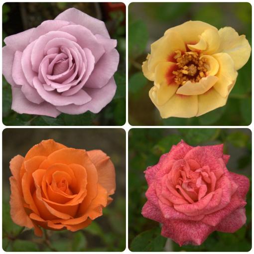 Autumn Rose _2