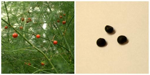 アスパラの実と種