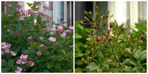 原種バラと ローズヒップ