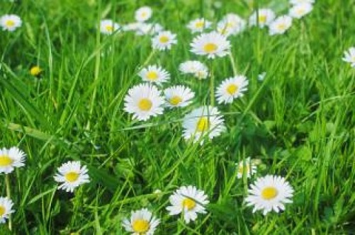 daisy-meadow_19-118146.jpg