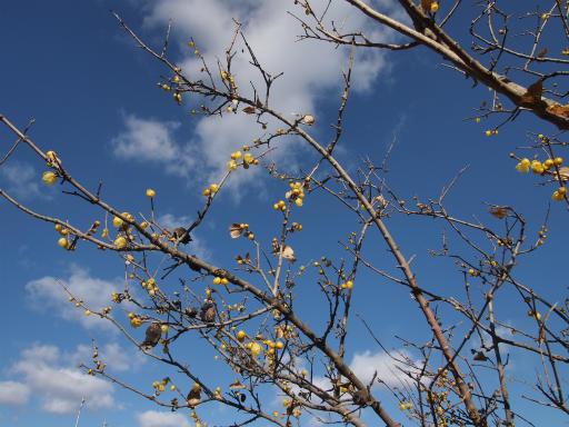 20140119・緑森空05・八幡湿地のソシンロウバイ
